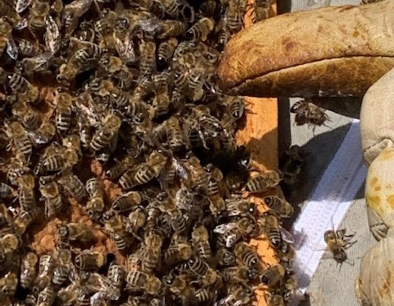 Auf dem Bild sind viele Bienen in einem Bienenstock zu sehen.