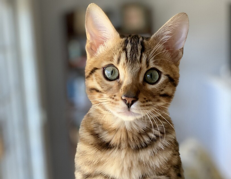 A Bengal kitten stares into the camera, while sitting inside a carpeted cat structure.