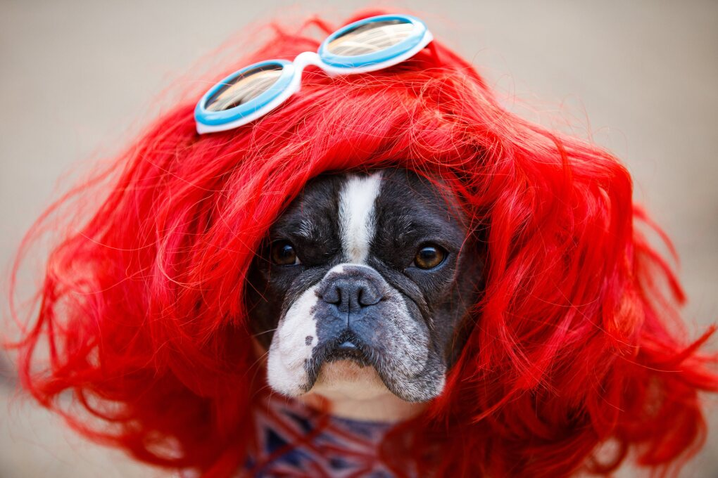 A black and white dog stares into the camera. The dog is dressed for Halloween at Amazon, and is wearing a red wig and blue eye glasses on his head.