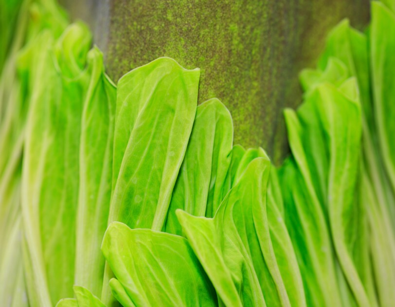 Close-up shot of the Corpse flower, with leaves that look similar to a head of lettuce unraveling.