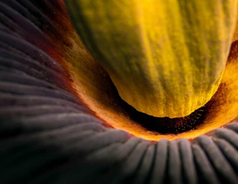 Close up shot of the inside of the corpse flower.