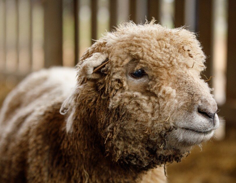 A sheep in a farm setting.
