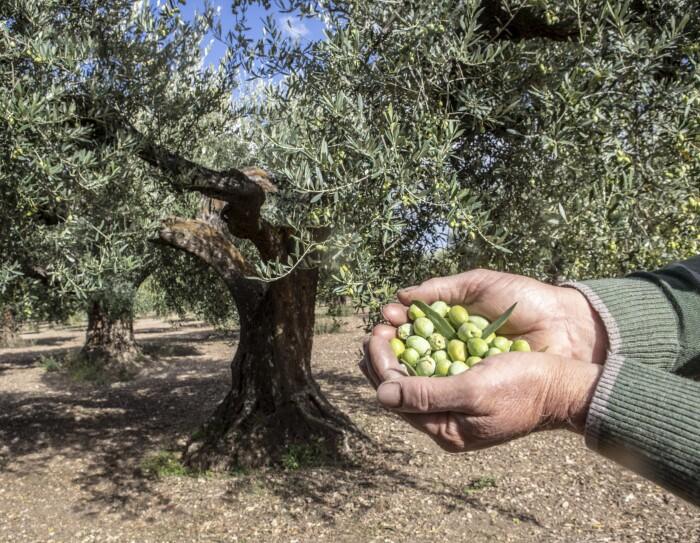 Delle mani mostrano delle olive davanti a un ulivo Peranzana