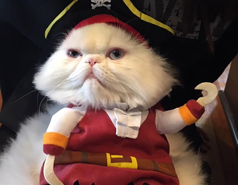 Cat wearing a pirate costume