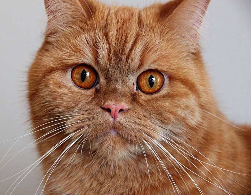 Eine Katze mit rotem Fell schaut in die Kamera