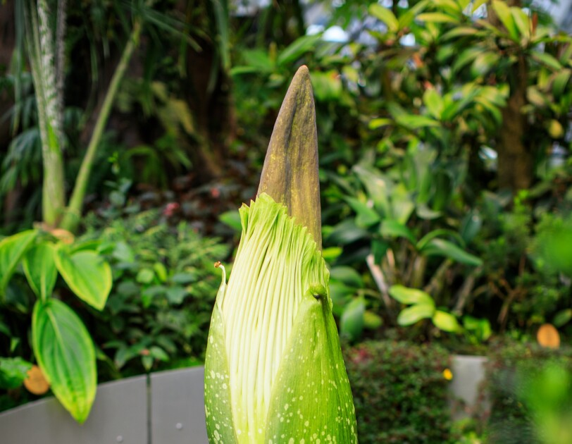 The corpse plant, in a planter, within The Spheres in Seattle, in the background are other green plants.