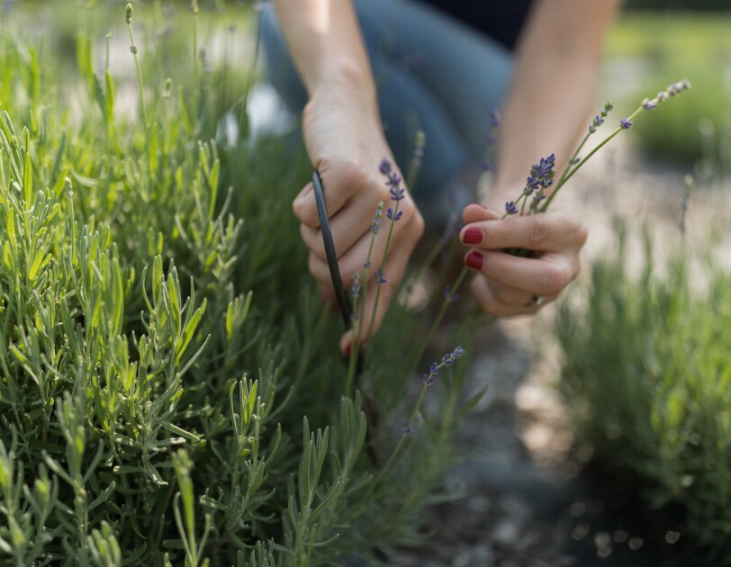 A woman's hands grasp a sprig of lavender, in the garden it was grown.