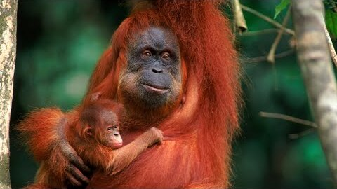 AWS machine learning services help WWF-Indonesia Save Endangered Orangutans