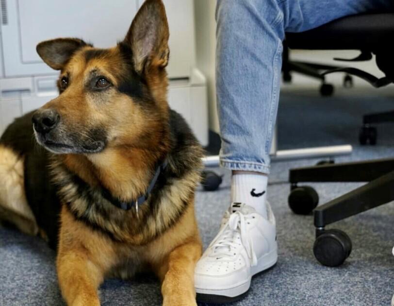 Ein Schäferhund liegt auf dem Boden. Neben ihm sieht man 2 Beine einer Person, die in einem Schreibtischstuhl sitzt.