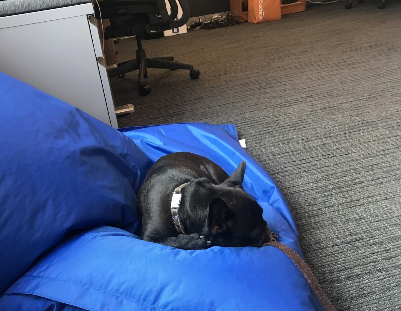 A brindle French Bulldog wearing a leather collar sleeps on a bean bag chair next to a filing cabinet and desk in an Amazon office.