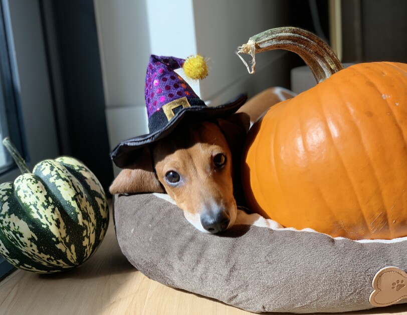 A dog dressed as a witch sits in a dog bed next to two pumpkins.