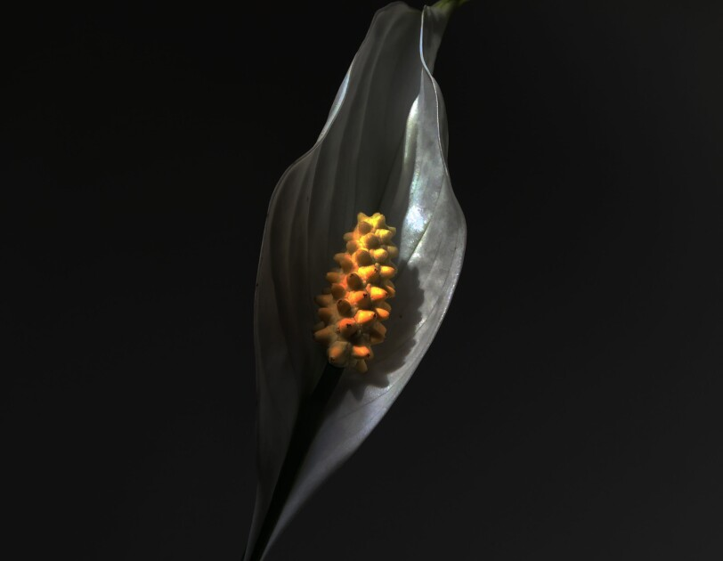 An image of a greyscale Lilly with a yellow Ovule.
