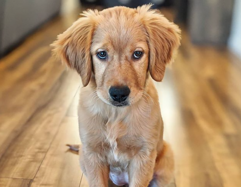 A golden retriever puppy sits on hardwood floor, looking into the distance.