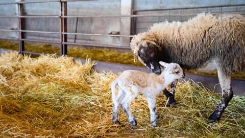 Un oveja y un cordero en un establo. La oveja es negra y marrón y el cordero es blanco y marrón. La oveja está cuidando del cordero. En el suelo hay paja.