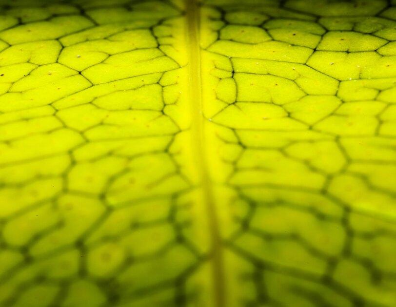 Microsorium musifolium