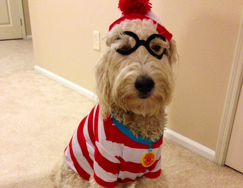 Dog wearing a Where's Waldo costume