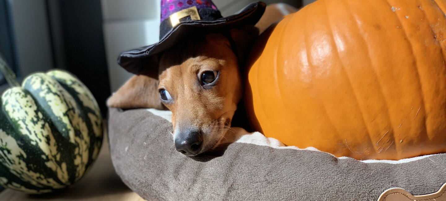 Halloween 2018 boxtumes and pets