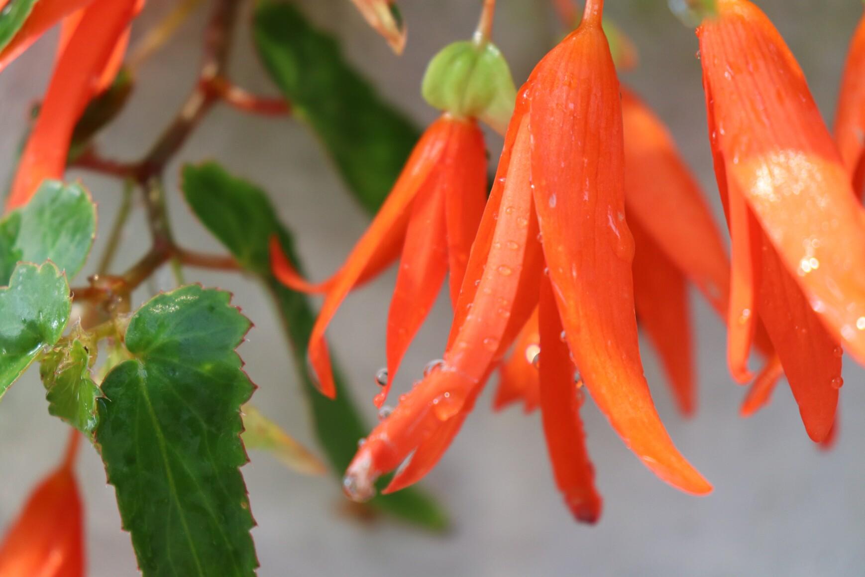 Begonia bolivensis