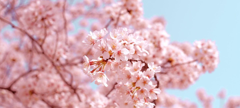 Ein Baum mit rosa Blüten, im Hintergrund ein strahlend blauer Himmel