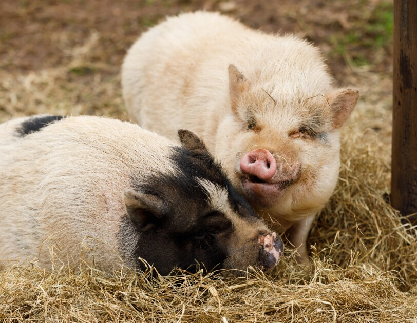 Two pigs in hay in a farm setting.