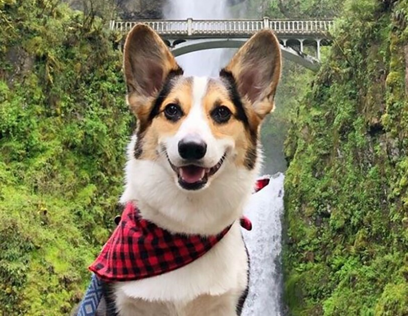 A Pembroke Welsh Corgi wears a buffalo check neck tie and poses in front of a huge waterfall surrounded by greenery.
