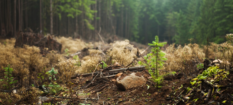 Wald_Baum_Nebel_Sätzling