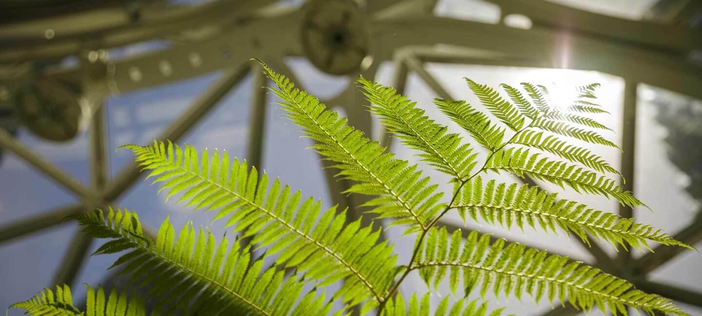 A fern grows in The Spheres, in Seattle, WA.