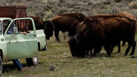 Where the buffalo roam and Amazon delivers