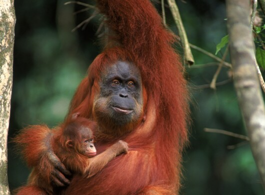 An orang utan pongo abelii female called Suma with male baby in Indonesia