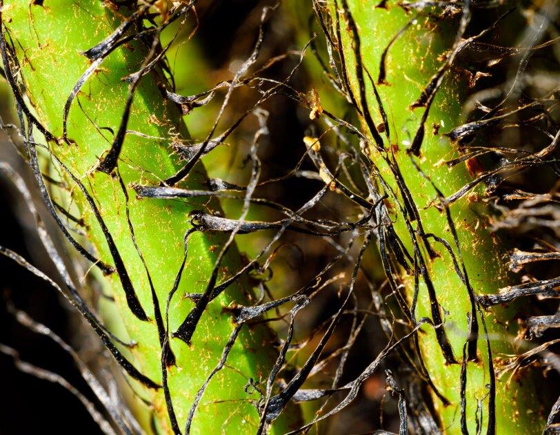 Blechnum gibbum