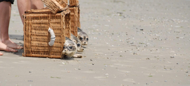 Seehund Auswilderung an der Nordsee. Tierpfleger lassen die kleiner Heuler am Strand aus den Transportkörben ins Wasser robben.