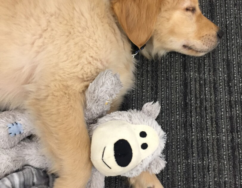 Dogs of Amazon - Marshall sleeping with toy