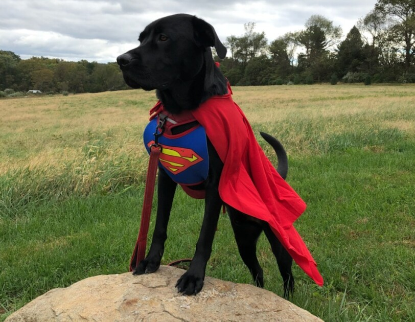 Dog stands on a rock, wearing a Superman costume