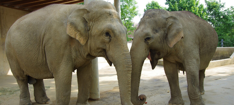 Zwei Elefanten im Gehege des Augsburger Zoo.