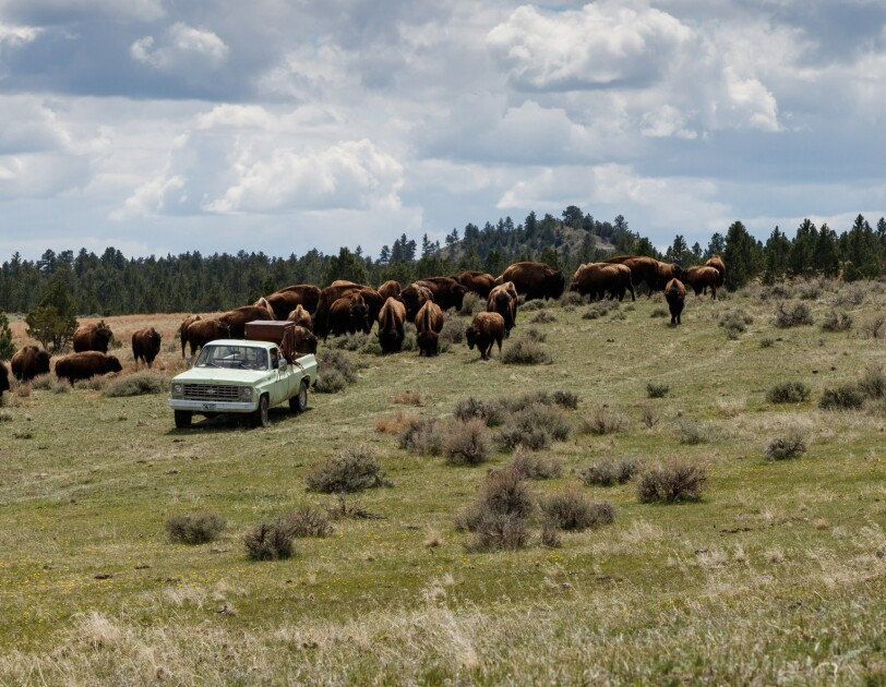 Under a blue sky with fluffy clouds in Wyoming, a weathered pickup truck is flanked by a herd of grazing buffalo.