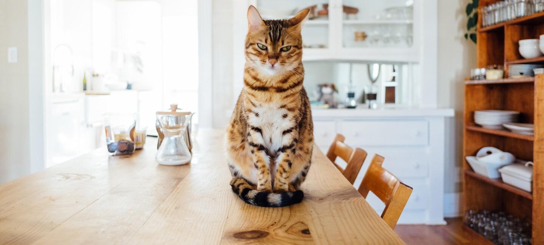 Eine hellbraune getiegerte Katze sitze auf dem Esstisch aus Holz und schaut grimmig in die Kamera.