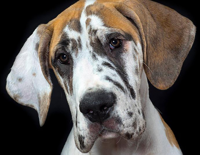 A white and brindle Great Dane looks into the camera, behind her is a black background.