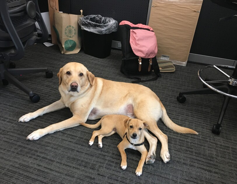 Dogs of Amazon - Piper and lab