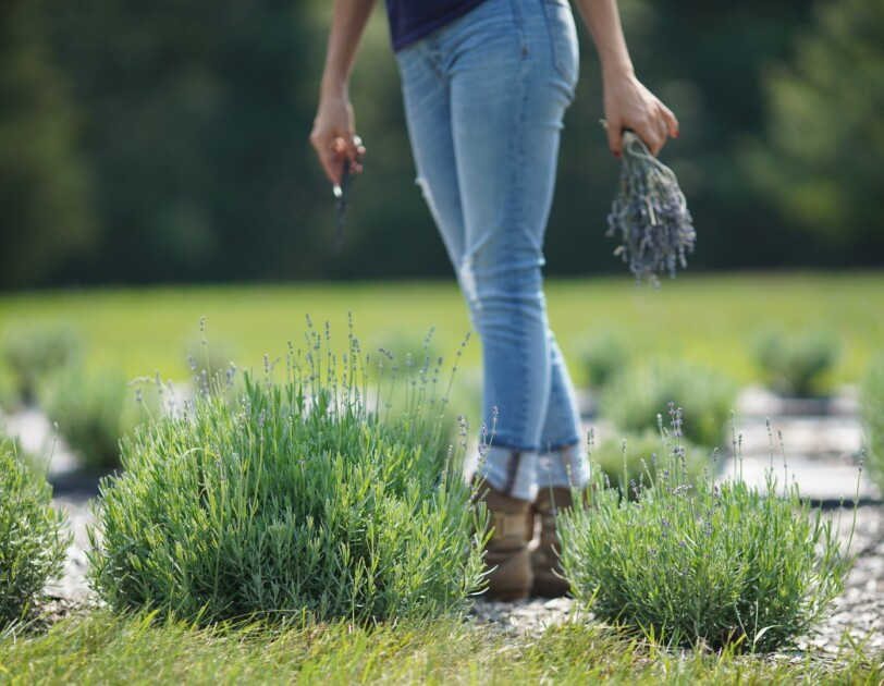 A woman stands in a lavender field. In her right hand is a bunch of lavender, in her left is an herb snip scissors.