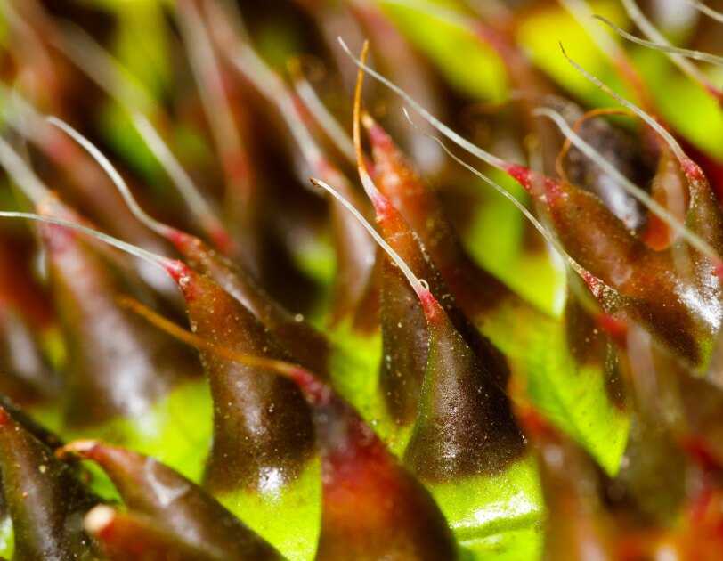 Begonia melanobullata