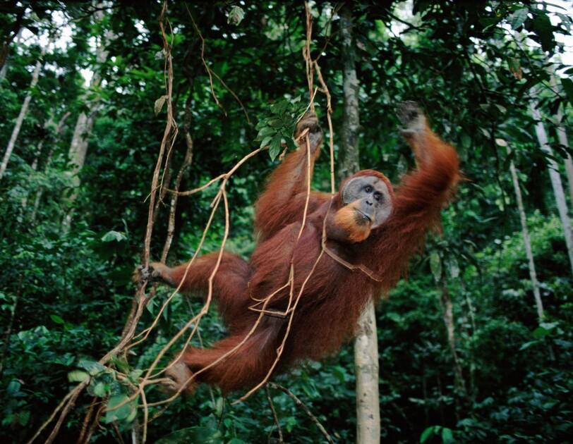 Sumatran Orang utan swings from llanas in Indonesia.