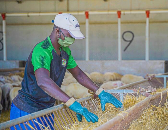 Jaume Farràs tiene un cebadero y un matadero en Sant Llorenç d'Hortons (Barcelona).  En la imagen un establo del cebadero con ovejas. Un trabajador del cebadero con guantes, mascarillas y gorra prepara la comida para los corderos. Hay unos diez corderos blancos comiendo y otros en el establo contiguo esperando para comer.