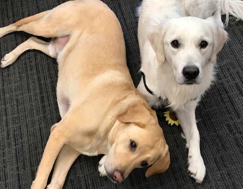 Dogs of Amazon - white and golden dogs