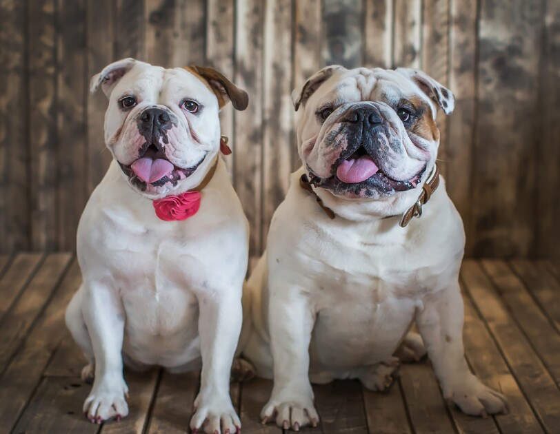 Two bulldogs sit next to each other in front of a wood backdrop. Both have their tongues out. One wears a leather collar while the other wears a collar with a rose on it.