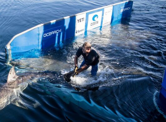 OCEARCH and AWS: Shark Populations. A shark swims in the water near a researcher.