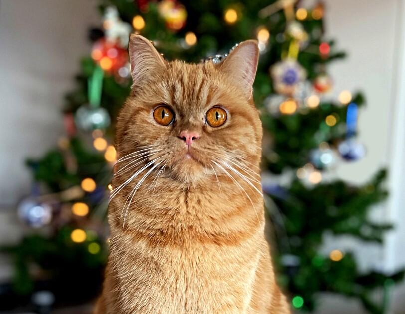 Eine Katze sitzt vor einem leuchtenden Weihnachtsbaum