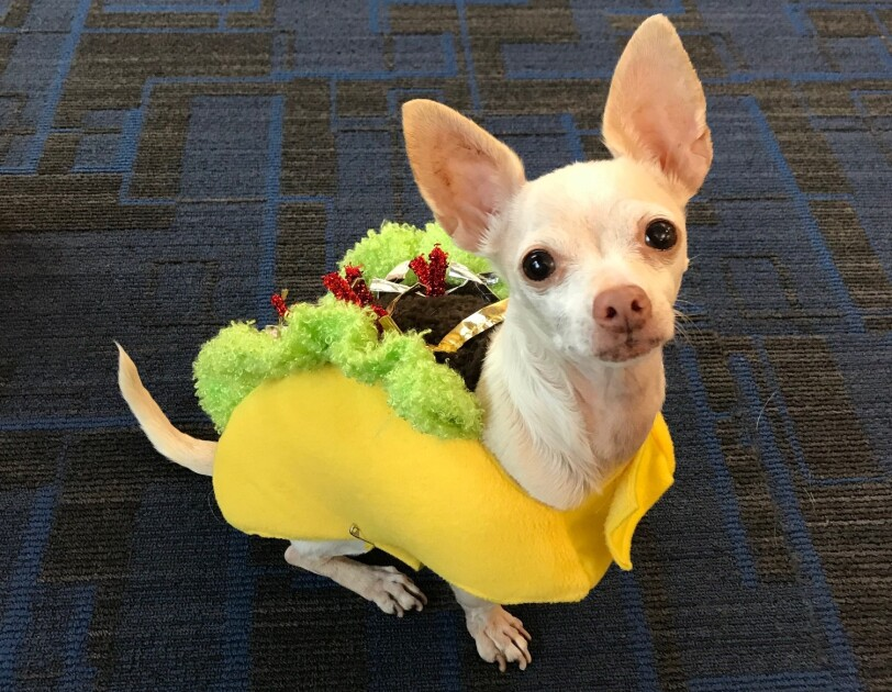 Small Chihuahua dog wearing a taco costume