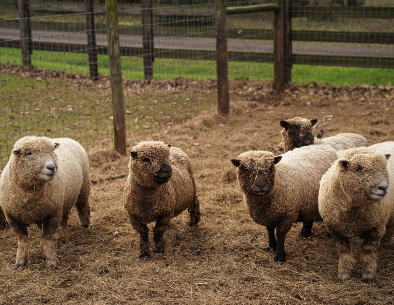 Five sheep in a pen on a farm.