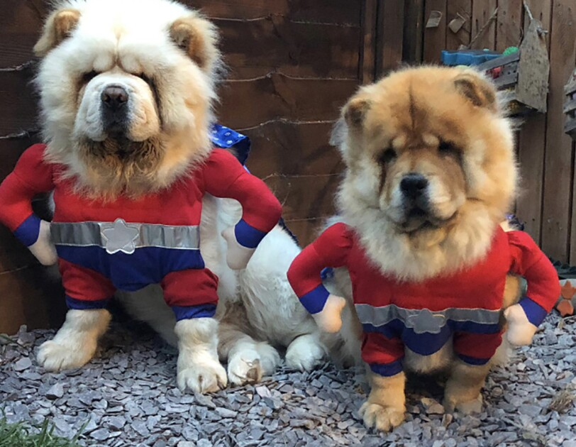 Two dogs wearing superhero costumes.