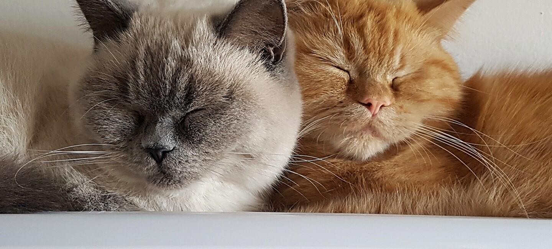 Zwei schlafende, aneinandergekuschelte Kätzchen
